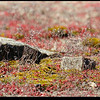 "(22Feb09)  diamorpha and moss.  the diamorpha is found on granite outcroppings like arabia mountain, and usually gathers in pools that collect rainwater.  <a href=""http://carpelumen.smugmug.com/gallery/4261282_JhtMR/2/257632689_ne9p7/Medium"">one year ago.</a>  f/11, 1/200s, iso 200."