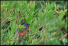 """(8Jun09)  painted bunting, marsh's edge, south carolina.  i've still got pictures to go through, and a week of work to catch up on, so i'm likely to feed you more leftovers for the next few days.  <a href=""""http://carpelumen.smugmug.com/gallery/5074429_hmVzR/2/309471227_uSfZJ/Medium"""">one year ago.</a>  f/8, 1/200s, iso 800."""