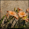 "(22Jun09)  day lilies.  <a href=""http://carpelumen.smugmug.com/gallery/5074429_hmVzR/2/318055168_MKees/Medium"">one year ago.</a>  f/11, 1/1000, iso 400."
