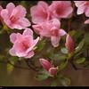 """24Mar09  azalea in bloom.  <a href=""""http://carpelumen.smugmug.com/gallery/4440280_LzGWs/2/270187158_djJKX/Medium"""">one year ago.</a>  f/5.6, 1/200s, iso 1250."""