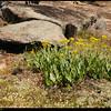 """(27Mar09)  flora on arabia mountain.  <a href=""""http://carpelumen.smugmug.com/gallery/4440280_LzGWs/2/271277476_QDrvU/Medium"""">one year ago.</a>  f/8, 1/500s, iso 200."""
