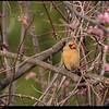 """(12Mar09)  cardinal in redbud tree.  <a href=""""http://carpelumen.smugmug.com/gallery/4440280_LzGWs/2/265800880_mzM2Q/Medium"""">one year ago.</a>  f/5.6, 1/400s, iso 640."""