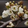 """7Mar09  pear blossoms.  <a href=""""http://carpelumen.smugmug.com/gallery/4440280_LzGWs/2/263139843_fE5yN/Medium"""">one year ago.</a>  f/5.6, 1/800s, iso 400."""