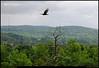 """23May09  turkey vulture.  <a href=""""http://carpelumen.smugmug.com/gallery/4835270_uSqPW/2/300372257_49S88/Medium"""">one year ago,</a> graduation.  f/8, 1/640s, iso 400."""