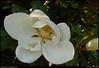 """31May09  magnolia flower.  <a href=""""http://carpelumen.smugmug.com/gallery/4835270_uSqPW/2/305492640_9LwLt/Medium"""">one year ago.</a>  f/8, 1/125s, iso 200."""