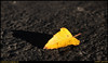 (13Nov09)<br /> <br /> yellow leaf on pavement.<br /> <br /> f/8, 1/320s, iso 200.