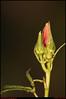 """26Nov09  spotlighted bud.  <a href=""""http://carpelumen.smugmug.com/Photography/2008/November08/6426286_qkVug/1/425115198_qwZek/Medium"""">one year ago.</a>  f/5.6, 1/500s, iso 200."""