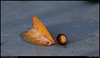 "12Nov09  leaf and shell on pavement.  <a href=""http://carpelumen.smugmug.com/Photography/2008/November08/6426286_qkVug/1/415958187_wDoEt/Medium"">one year ago.</a>  f/8, 1/60s, iso 800."