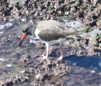 American Oystercatcher 11-27-10 Pt. Loma.  This is a crappy shot.