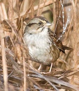 Swamp Sparrow 11-16-10 IB