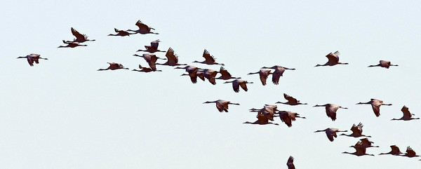Sandhill Cranes 11-11-10 SESS
