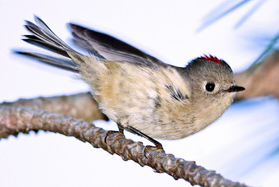 Ruby-crowned Kinglet 10-29-10 FRNC