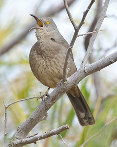 Curve-billed Thrasher IMP Co 12-3-10