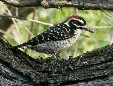 Nuttal's Woodpecker 3-31-10