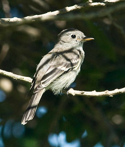 Gray Flycatcher 11-7-10 FRNC