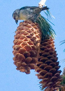 Red Crossbill  San Jacinto 11-13-10