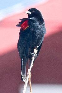Red-winged Blackbird 2-28-10 Cuyamaca