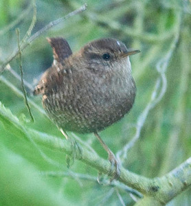 Eastern Winter Wren 11-7-10 Pt. Loma.