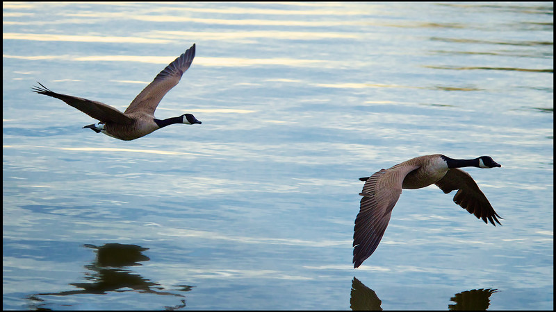 March, 2010<br /> <br /> Geese fly over a lake during our vacation in South Carolina.