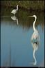 (13Apr10)<br /> <br /> egrets, st simons island, georgia.<br /> <br /> f/11, 1/500s, iso 400.