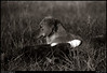 (24Apr10)<br /> <br /> a frisky grendel pup being ignored by molly, circa 1981.<br /> <br /> nikon fe, ilford fp4.