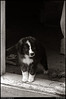 (22Apr10)<br /> <br /> grendel, circa 1981.<br /> <br /> i've gotten a film/slide scanner and have begun archiving some of my more memorable shots from, well, from a while back.  grendel was a sheep dog/collie mix.<br /> <br /> my sister came home with grendel after visiting a humane society pet adoption event.<br /> <br /> iso 100.