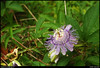 (30Aug10)<br /> <br /> passion flower.<br /> <br /> f/11, 1/160s, iso 200.
