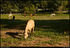 31Aug10<br /> <br /> little creek horse farm, dekalb county, georgia.<br /> <br /> if you haven't noticed, LCHF is a morning distraction on my way to work.  in the background is morning rush hour inbound on lawrenceville hwy.<br /> <br /> autumn arrived in atlanta overnight, with morning lows in the lower 60s and humidity essentially gone, and i needed a 'reason' to stop and enjoy it for just a minute.<br /> <br /> f/8, 1/500s, iso 200.