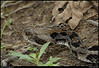 "21Aug10  timber rattler, sweetwater creek state park, georgia.  there are times when i wished that the 80-400 zoom would focus closer than 11 feet.  this wasn't one of those times.  i had been positioning  to get a better composition of some white flowers flowing over some dead wood, and was somewhat limited by the underbrush on the left and the creek on the right.  I clicked off a few shots of what i could get, then turned to continue hiking along the creek.  that's when i discovered this guy was about 18"" behind me and waiting to cross the path to the creek.  i had to back up to get him in focus, and just stayed back until he decided to move on and swim across the creek.  <a href=""http://carpelumen.smugmug.com/Photography/2009/August09/9164901_7b3Yf/1/626463316_YnMRD/Medium"">one year ago.</a>  f/11, 1/100s, iso 640."