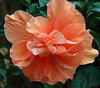 "July 20 2010 Delicate folds<br /> <br /> I was complaining a few posts ago that we got these bushes that we thought were ""regular"" hibiscus and that turned out to be like this.  I'm withdrawing the complaint :-) .  We've decided that these produce gorgeous blooms that are fascinating to look closely into and they provide a great splash of color on our deck."