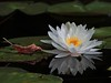 August 8 2010 Reflections<br /> <br /> Water lily in our pond.  Normally shooting water lilies is a pretty safe activity.  The mosquitoes are so bad here after all the rain that it makes for a real adventure doing anything outdoors.  And swatting mosquitoes is so bad for handheld photography :-)<br /> Hope you're all having a great weekend.