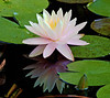 July 10 2010 Take time to reflect<br /> <br /> Water lily in our pond.<br /> Thanks for all the nice comments on my potato picture yesterday.  A couple of people asked if the purple ones tast different.  They all taste the same.