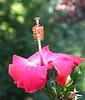 hibiscus dpp_7164