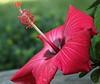hibiscusIMG_6898