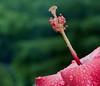 hibiscus IMG_6997