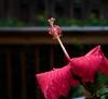 hibiscus IMG_6992