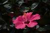 hibiscus IMG_7666