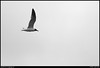 "(13Ju10)  gull in flight.  <a href=""http://carpelumen.smugmug.com/Photography/2009/July09/8770350_aJEzR/2/590487367_cPNfe/Medium"">one year ago.</a>  f/11, 1/1000s, iso 400."