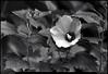 "(17Jul10)  rose of sharon.  <a href=""http://carpelumen.smugmug.com/Photography/2009/July09/8770350_aJEzR/1/594942103_dqyxR/Medium"">one year ago.</a>  f/8, 1/60s, iso 1250."