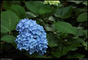 """29May10  the hydrangeas are in bloom.  <a href=""""http://carpelumen.smugmug.com/Photography/2009/May09/8155159_Hsaf3/1/550821624_cUYot/Medium"""">one year ago.</a>  f/7.1, 1/160s, iso 800."""