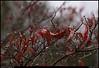 """26Nov10  dogwood going dormant.  <a href=""""http://carpelumen.smugmug.com/Photography/2009/November09/10158540_QLM7i/1/728572669_NNKCw/Medium"""">one year ago.</a>  f/8, 1/320s, iso 800."""