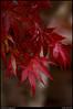 """(28Nov10)  japanese maple.  <a href=""""http://carpelumen.smugmug.com/Photography/2009/November09/10158540_QLM7i/1/728577892_PkxxH/Medium"""">one year ago.</a>  f/5.6, 1/160s, iso 800."""