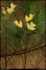 "(27Nov10))  poplar leaves and pine needles.  <a href=""http://carpelumen.smugmug.com/Photography/2009/November09/10158540_QLM7i/1/728575789_F8Vkh/Medium"">one year ago.</a>  f/5.3, 1/320s, iso 800."