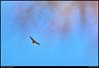 "(19Oct10)  hawk circling overhead.  <a href=""http://carpelumen.smugmug.com/Photography/2009/October09/9832432_QGQQM/1/686401298_qejqx/Medium"">one year ago.</a>  f/11, 1/640s, iso 320."