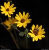 "(8Sep10)  bee and daisies.  <a href=""http://carpelumen.smugmug.com/Photography/2009/September09/9510900_G8X5n/2/648566142_FLzkX/Medium"">one year ago.</a>  f/8, 1/1250s, iso 320."