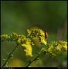 "(15Sep10)  beetle and flowers.  <a href=""http://carpelumen.smugmug.com/Photography/2009/September09/9510900_G8X5n/1/650963524_neFfX/Medium"">one year ago.</a>  f/11, 1/1000s, iso 800."