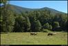 "6Sep10  horses grazing, north georgia mountains.  <a href=""http://carpelumen.smugmug.com/Photography/2009/September09/9510900_G8X5n/2/647531540_b5Rww/Medium"">one year ago.</a>  f/11, 1/125s, iso 200."