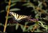 "(9Sep10)  tiger swallowtail.  <a href=""http://carpelumen.smugmug.com/Photography/2009/September09/9510900_G8X5n/1/648593112_SNFbD/Medium"">one year ago.</a>  f/11, 1/640s, iso 800."