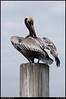 color: pelican, st simons island, georgia.