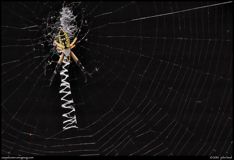 color: garden spider, norcross, georgia.